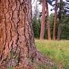 Pines, Wallowa County