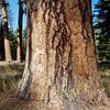 Pines, Wallowa County 2