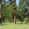 Pines, Imnaha Breaks