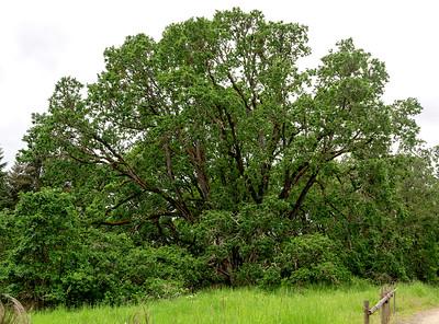 Signature Oak