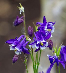 Purple Columbine