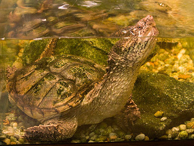 Common Snapping Turtle 3