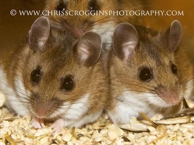 Deer Mice