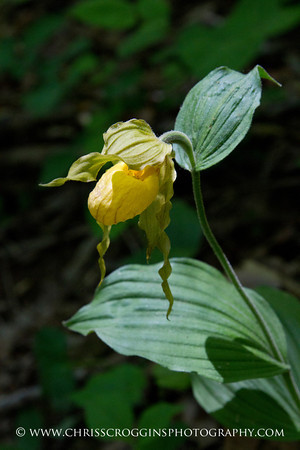 Yellow Lady Slipper