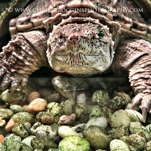 Common Snapping Turtle Sqr