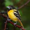 Unusual Yellow Male Oriole - probably Baltimore