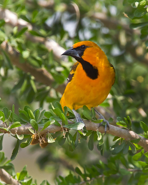 This photograph of a Altimira Oriole was captured in Estero Llano Grande State Park, near Weslaco, Texas (4/11).          This photograph is protected by the U.S. Copyright Laws and shall not to be downloaded or reproduced by any means without the formal written permission of Ken Conger Photography.