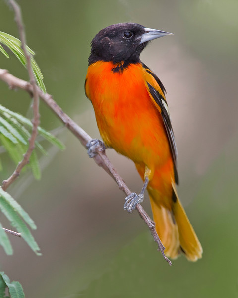 This photograph of a Baltimore Oriole was captured in South Padre Island, Texas (4/11).       This photograph is protected by the U.S. Copyright Laws and shall not to be downloaded or reproduced by any means without the formal written permission of Ken Conger Photography.