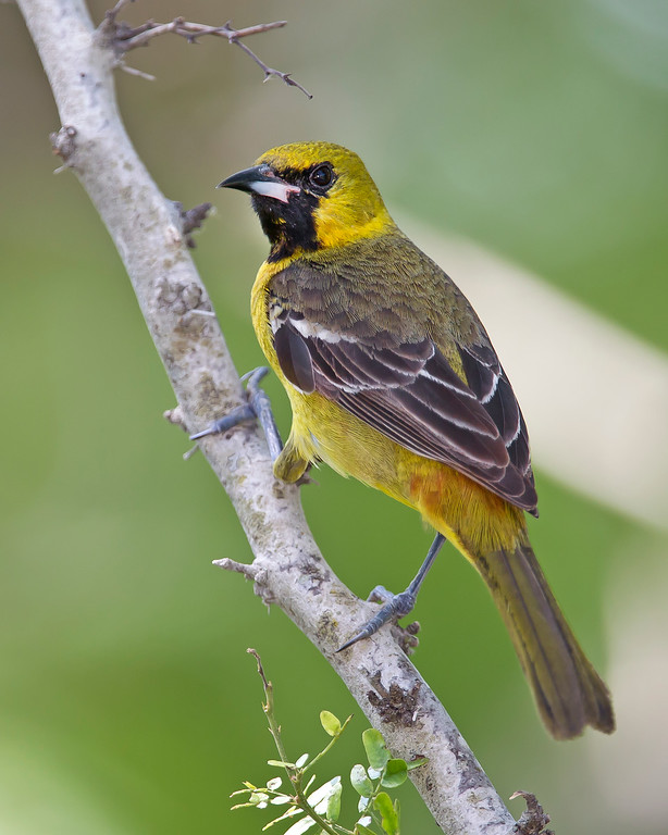 This photograph of a female Orchid Oriole was captured in South Padre Island, Texas (4/11).       This photograph is protected by the U.S. Copyright Laws and shall not to be downloaded or reproduced by any means without the formal written permission of Ken Conger Photography.