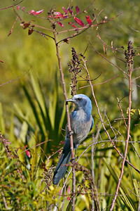 Florida Scrub Jay, named Silver-Blue-Azure-Lime
