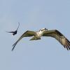 Grackel chasing the Osprey