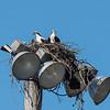 Osprey Nest at the baseball field in Guntersville at Brown's Creek