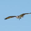 Osprey female