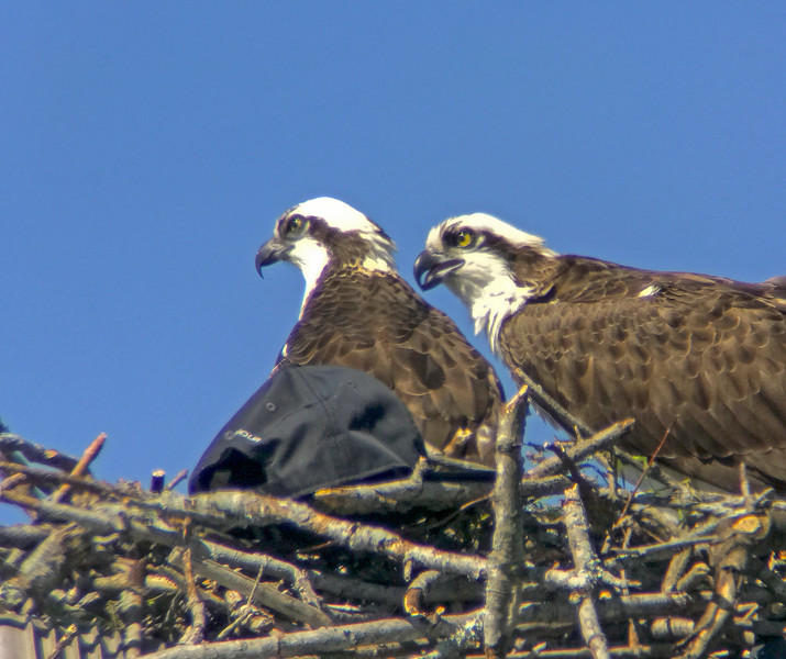 Osprey and a baseball cap
