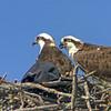 Osprey and a baseball cap