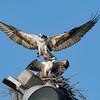 Osprey female with Shad