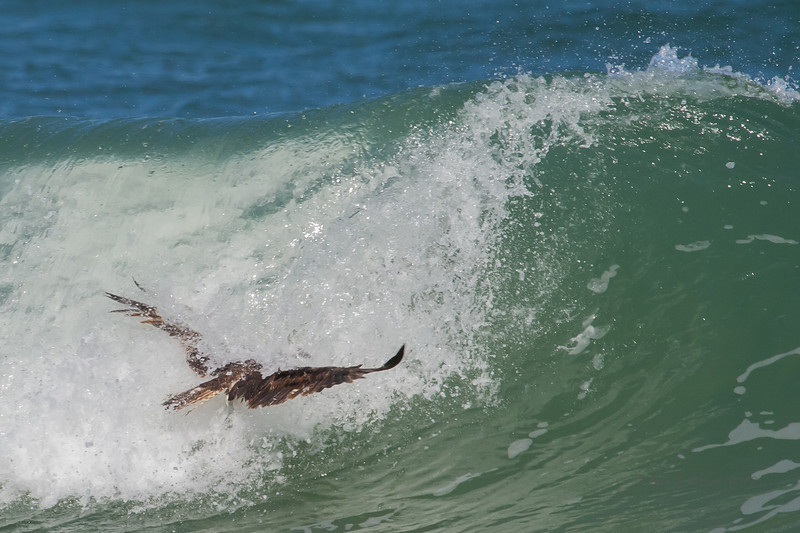 Appears to set his wings and speed up, perhaps hoping to muscle thru the collapsing avalanche and exit back side of wave.