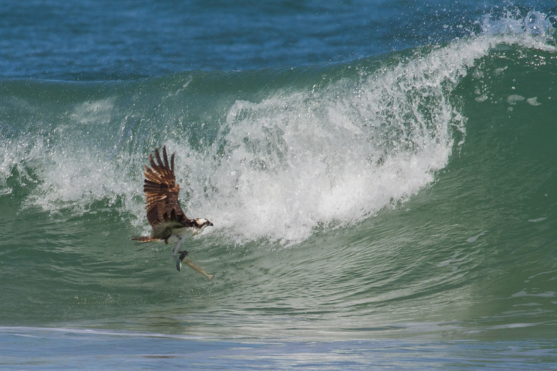 Osprey snatches a meal just a few feet in front of crashing wave.