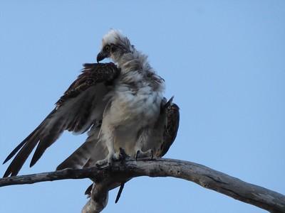 Osprey in the Wind