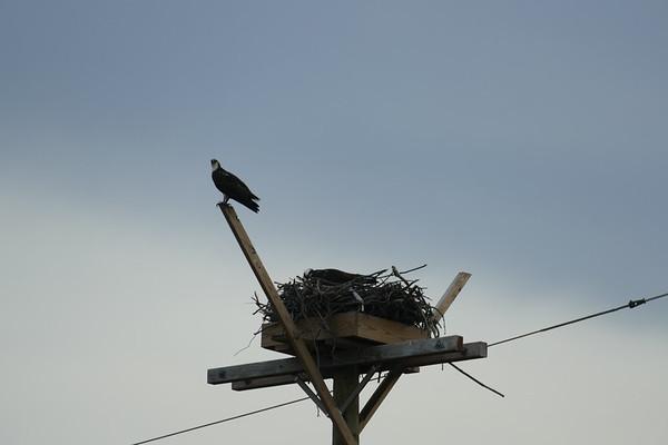 Osprey-near Oceanport Marina
