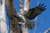 Osprey nesting 2012-14