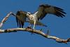 Osprey nesting 2012-5