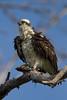 Osprey nesting 2012-20