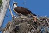 Osprey nesting 2012-1