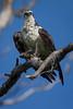 Osprey nesting 2012-18