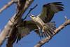 Osprey nesting 2012-13