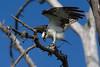 Osprey nesting 2012-16