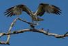 Osprey nesting 2012-9