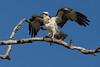 Osprey nesting 2012-6