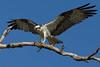 Osprey nesting 2012-4