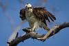 Osprey nesting 2012-19