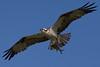 Osprey nesting 2012-10