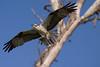 Osprey nesting 2012-12