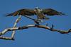 Osprey nesting 2012-8