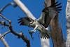 Osprey nesting 2012-15