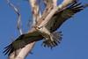 Osprey nesting 2012-11