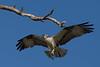 Osprey nesting 2012-3