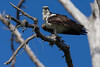 Osprey nesting 2012-17