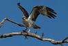 Osprey nesting 2012-7