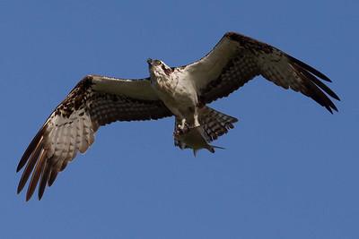 Osprey nesting spring 2012
