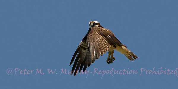 Osprey of Paradise Valley Montana 2013-2018