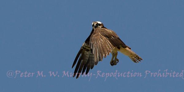 Osprey of Paradise Valley Montana 2013-2018