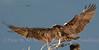 Osprey Wing ID.