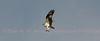 Osprey carry fish head forward.