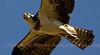 Close up of an Osprey