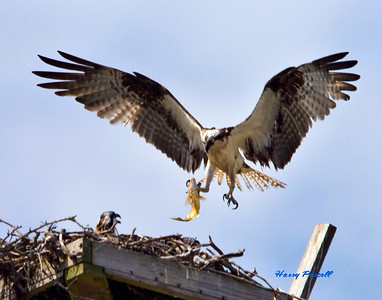 The mamma bird brings a fish to the babies. Osprey are great hunters but only eat fish.
